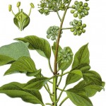 Hedera helix_g