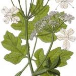 Heracleum sphondylium_g