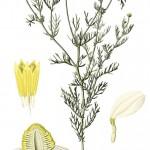 Matricaria chamomilla_g
