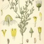 Matricinaria chamomilla alt