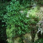 Vaccinium myrtillus f1-1