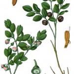 Vaccinium myrtillus_g