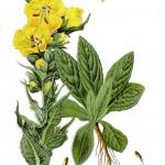 Verbascum densiflorum_g