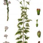 Verbena officinalis_g