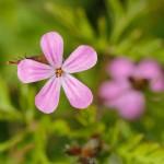 geranium robertianum-1