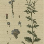 verbena-officinalis-flora-germania