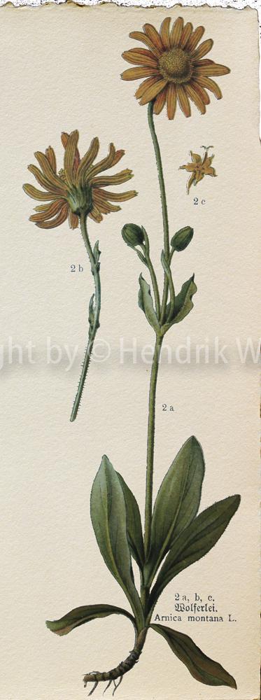 Arnica montana, Arnika, | Heilpflanzen der gemäßigten Zonen